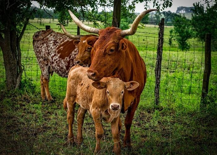 cow-and-calf-by-a-fence