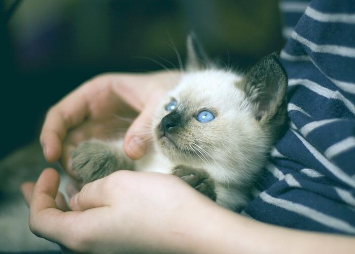 kitten with blue eyes sitting in a lap