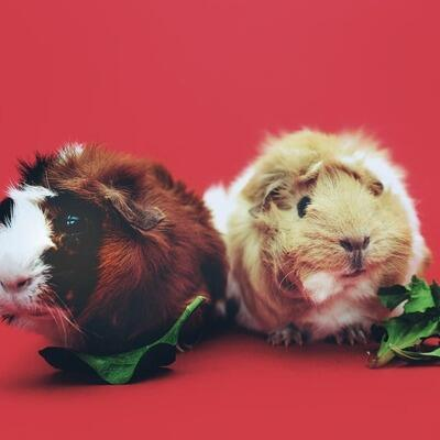 hamsters-eating-lettuce