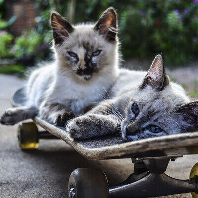 two-cats-on-skateboard