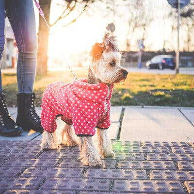 yorkie-puppy-dressed-up-for-their-walk