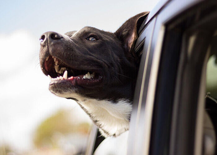 dog hanging its head out of a car