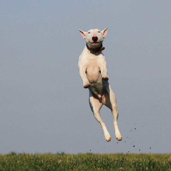 dog jumping in the distance