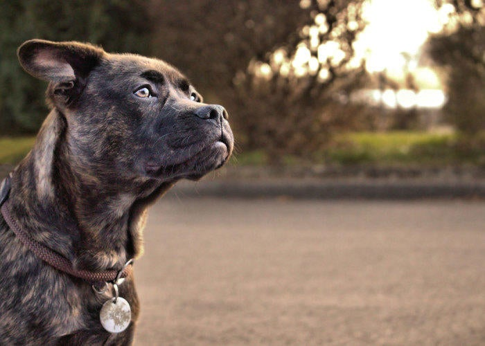 majestic-dog-looking-into-the-distance