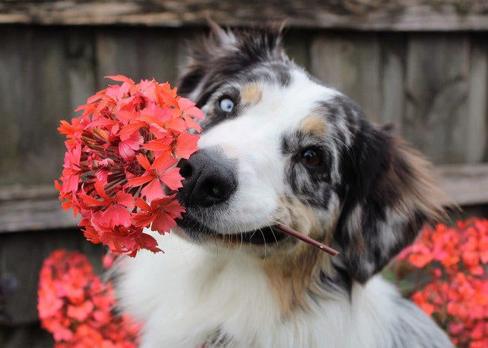 border collie with flowers around their face