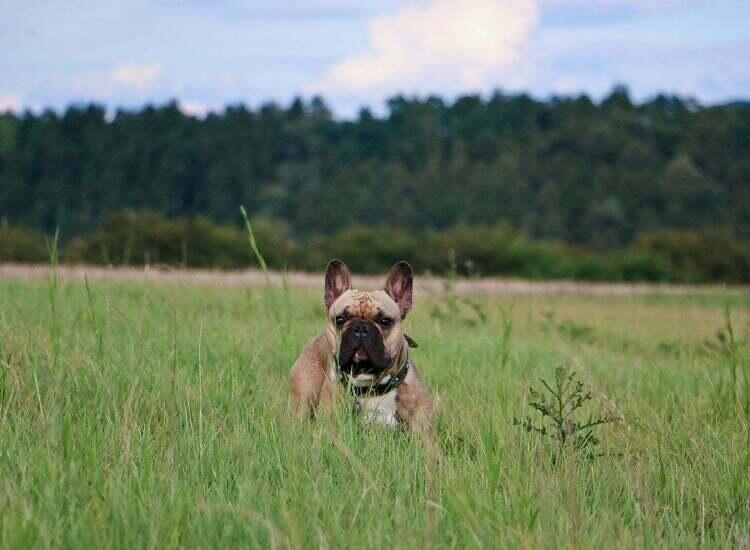 french bulldog in a field of tall grass