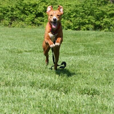 dog running through the grass