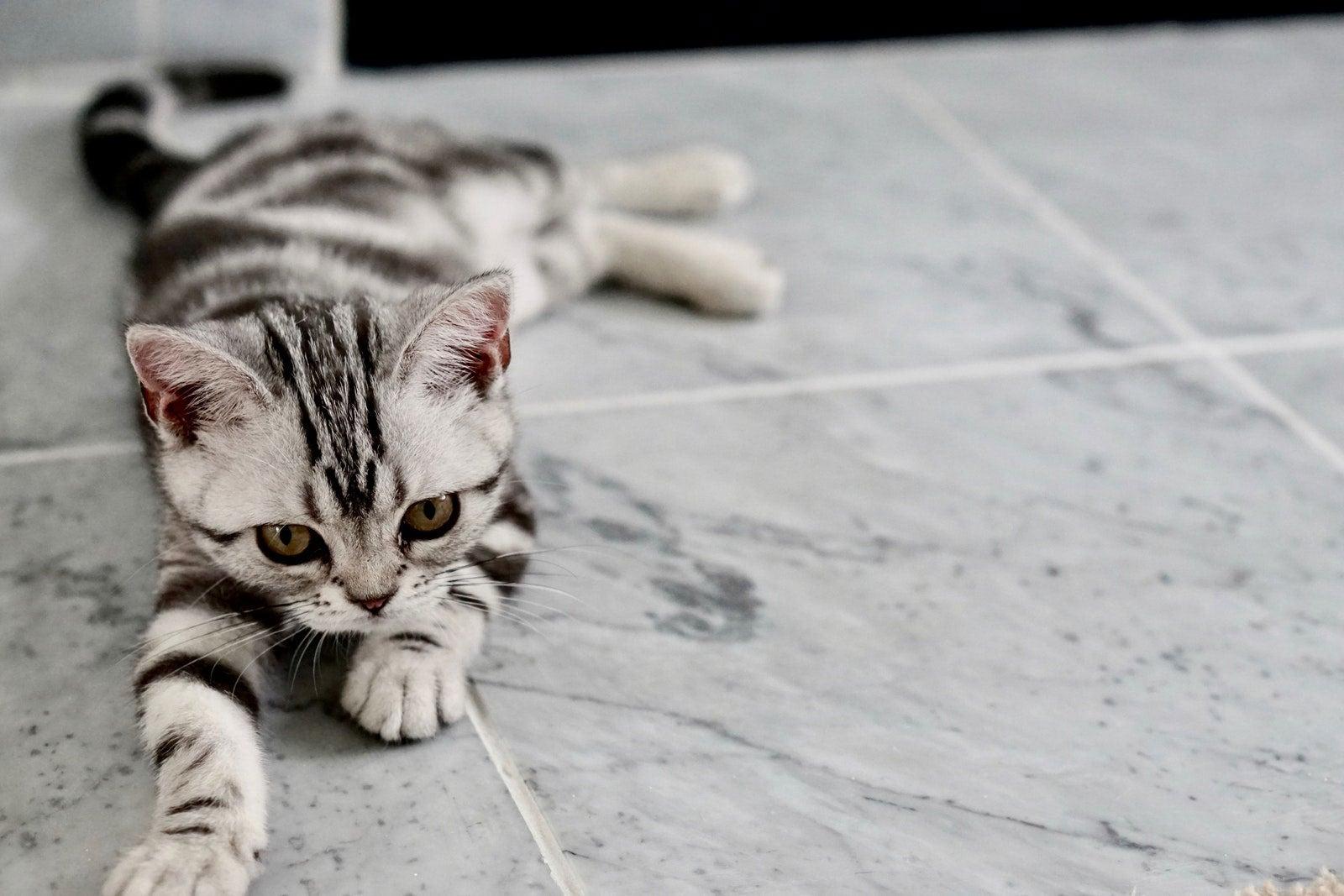pet-kitten-left-lay-cute.jpg
