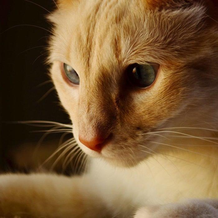 pet-light-look-cat-closeup.c50e7600bcc17