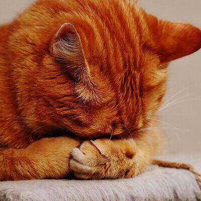 orange-cat-hiding-their-face-in-hands
