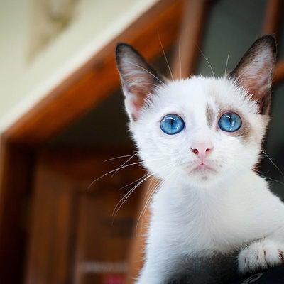 blue-eyed-cat-in-window