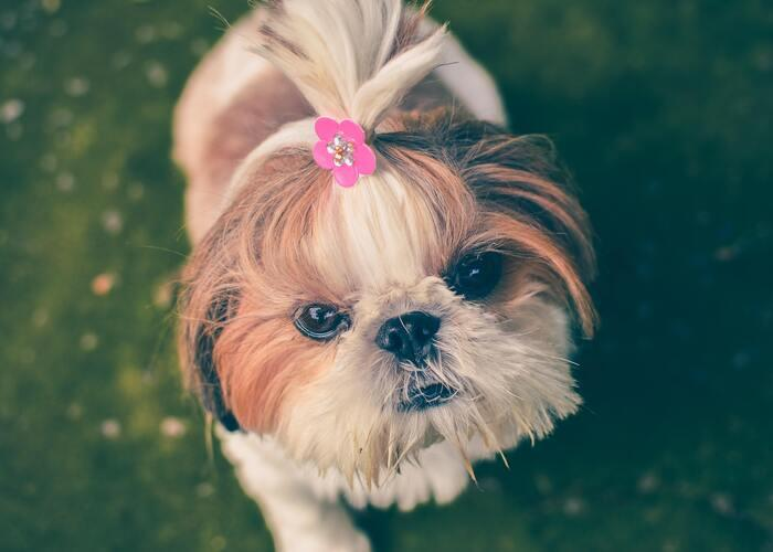 Pomeranian-with-hair-in-a-ponytail