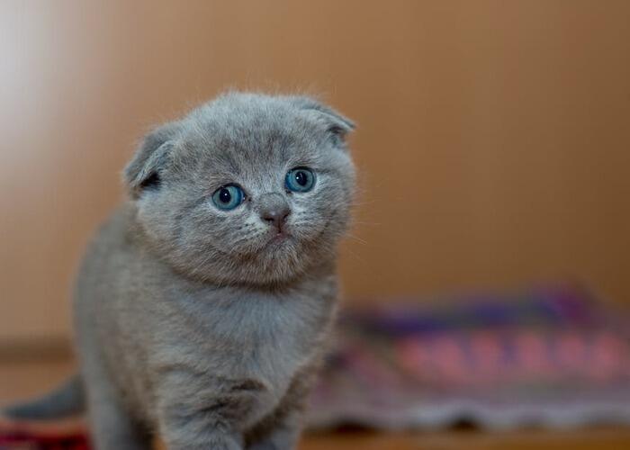 grey-kitten-looking-nervous