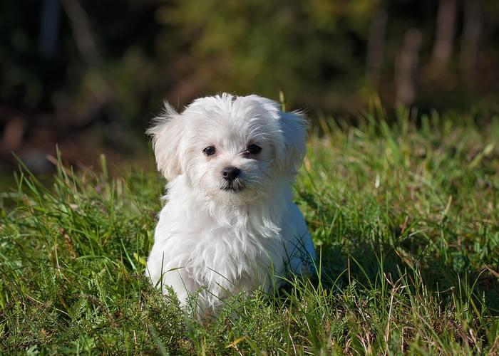 small fluffy white puppy in the grass